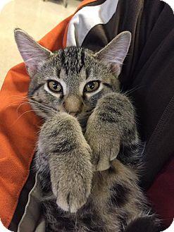 Domestic Shorthair Cat for adoption in Huntley, Illinois - Cedar