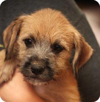 Miniature Schnauzer/Beagle Mix Dog for adoption in Jewett City, Connecticut - Maxine ADOPTED!