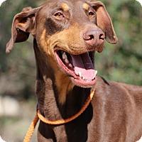 Adopt A Pet :: Rudolf - Fillmore, CA