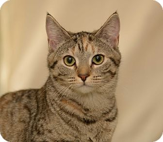 Domestic Shorthair Cat for adoption in Shelby, North Carolina - Paris