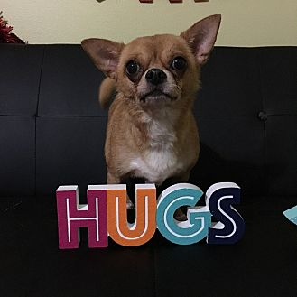 Chihuahua Dog for adoption in Davie, Florida - Prince