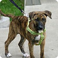 Adopt A Pet :: Hermione - Dallas, TX