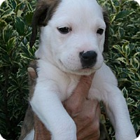Adopt A Pet :: Pepper - Holly Springs, NC
