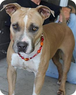 Boxer/Pit Bull Terrier Mix Dog for adoption in Seattle, Washington - Coral Meyer