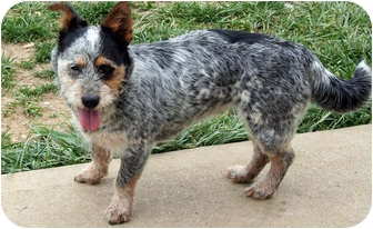 Terrier (Unknown Type, Small) Mix Dog for adoption in Westfield, Indiana - Bella