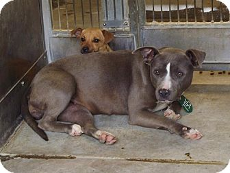 Pit Bull Terrier Mix Dog for adoption in San Diego, California - Mary URGENT