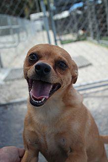 Chihuahua Mix Dog for adoption in San Pablo, California - PEANUT