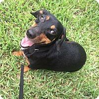 Adopt A Pet :: Stretch - Pinellas Park, FL