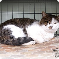 Domestic Shorthair Cat for adoption in Marlinton, West Virginia - Dylan