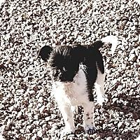 Adopt A Pet :: Billy Joel - Las Vegas, NV