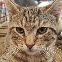 American Shorthair Cat for adoption in Lyons, Illinois - Jamison
