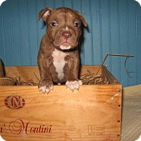 Adopt A Pet :: Drew - KANNAPOLIS, NC