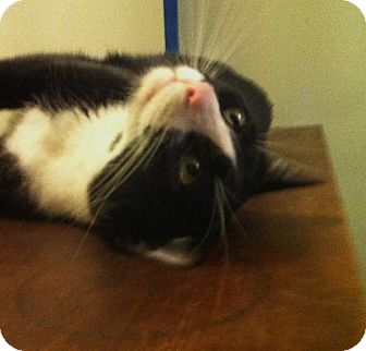 Domestic Shorthair Cat for adoption in Los Angeles, California - Peanut