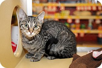 Domestic Shorthair Cat for adoption in Farmingdale, New York - Simon