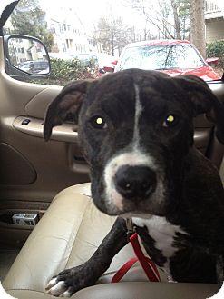 Boxer/American Pit Bull Terrier Mix Puppy for adoption in Atlanta, Georgia - Joey Ramone