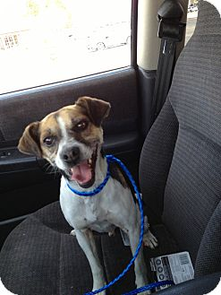 Jack Russell Terrier/Beagle Mix Dog for adoption in Ogden, Utah - Jack