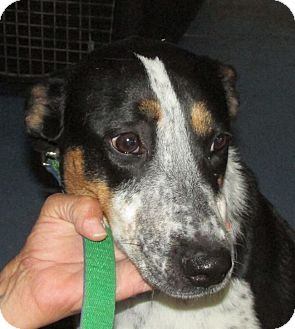 Australian Cattle Dog/Collie Mix Dog for adoption in Greeley, Colorado - Lilly