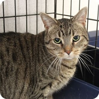 Domestic Shorthair Cat for adoption in Naperville, Illinois - Leo