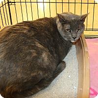 Domestic Shorthair Cat for adoption in Rochester, Minnesota - Emma