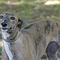 Greyhound Dog for adoption in Longwood, Florida - Roxie