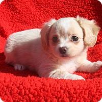 Adopt A Pet :: Farrah - Henderson, NV