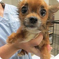 Adopt A Pet :: Della - Murphysboro, IL
