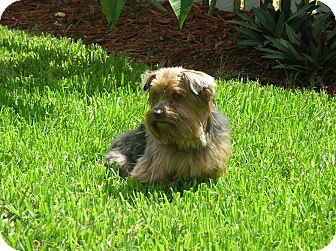 Yorkie, Yorkshire Terrier Dog for adoption in Beechgrove, Tennessee - Butler