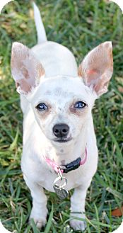 Chihuahua Puppy for adoption in Temecula, California - Chicklet