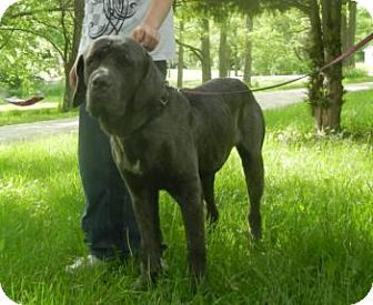 Neapolitan Mastiff Dog for adoption in Antioch, Illinois - Tank ADOPTED!!