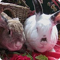 Adopt A Pet :: Celeste - Huntsville, AL