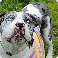 Adopt A Pet :: Pearl - Reisterstown, MD
