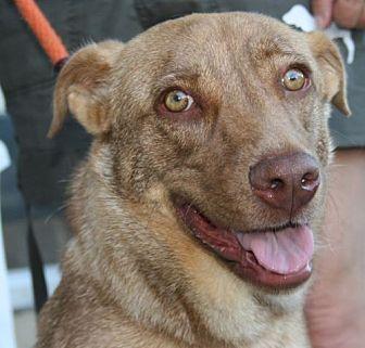 Vizsla/Labrador Retriever Mix Dog for adoption in Canoga Park, California - Lacy