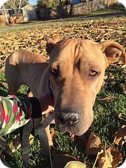 Shar Pei Mix Dog for adoption in Littleton, Colorado - DASIA
