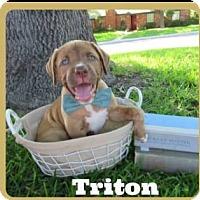 Adopt A Pet :: Triton - East Hartford, CT