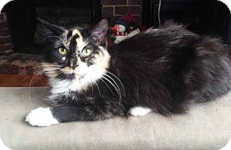 Domestic Mediumhair Kitten for adoption in South Bend, Indiana - Shadow