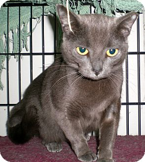Russian Blue Cat for adoption in Troy, Michigan - Rusa