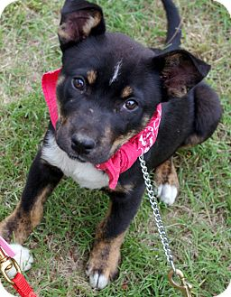 Border Collie/Labrador Retriever Mix Puppy for adoption in Groton, Massachusetts - Penney