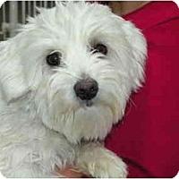 Adopt A Pet :: Scooter - Rigaud, QC
