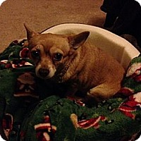 Adopt A Pet :: Ginger - Fort Collins, CO