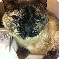 Adopt A Pet :: Pintica - Pittstown, NJ