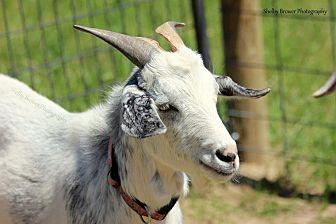 Goat for adoption in Mead, Washington - Mr Tumnus