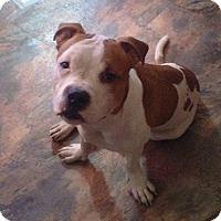 Adopt A Pet :: Trigga - Acushnet, MA