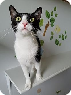 Domestic Shorthair Cat for adoption in China, Michigan - Dory