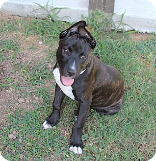 American Pit Bull Terrier Mix Puppy for adoption in Owasso, Oklahoma - Duncan