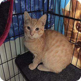 Domestic Shorthair Kitten for adoption in Hamilton, New Jersey - CHILI