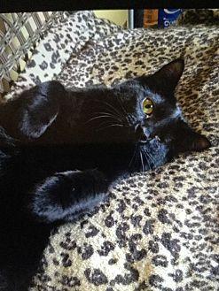Domestic Shorthair Cat for adoption in Burnham, Pennsylvania - Rosie