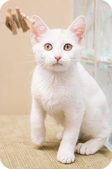 Turkish Van Kitten for adoption in Chicago, Illinois - Milkshake