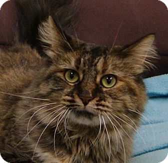 Maine Coon Cat for adoption in Dundee, Michigan - Aurora - Adoption Pending