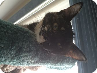 Domestic Mediumhair Cat for adoption in Burlington, Ontario - Thelma
