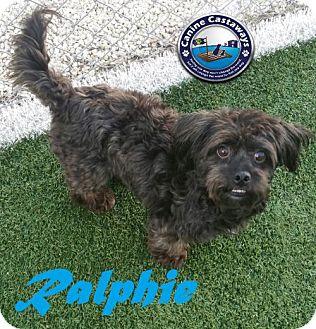 Maltese/Poodle (Miniature) Mix Dog for adoption in Arcadia, Florida - Ralphie